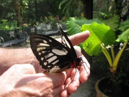 David's Butterfly