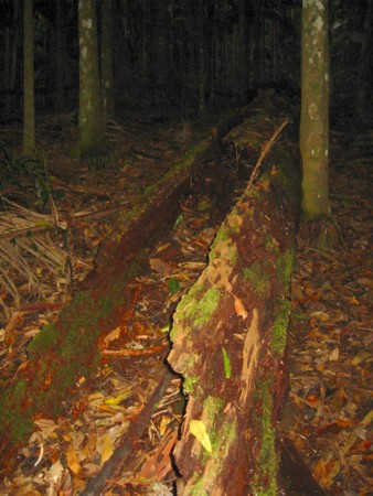 Huge but Beautiful Rotting Tree at Mt Warning
