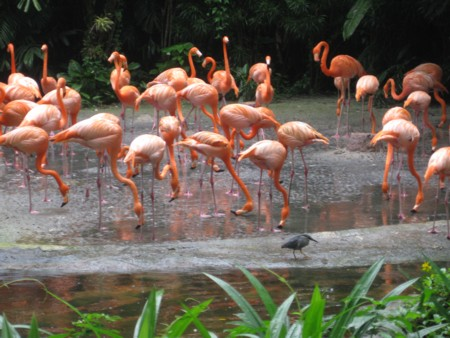 Jurong Bird Park Flamingoes