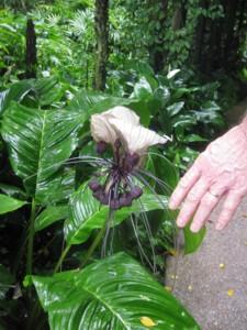 Singapore Botanic Gardens - Large Spider Orchid