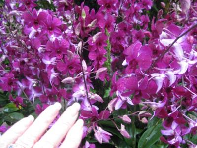 Singapore Botanic Gardens - Mass of Pink Orchids
