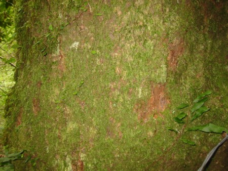 Tree bark moss in Dorrigo