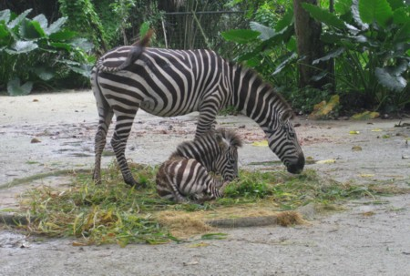 Zebra with Baby at Singapore Zoo