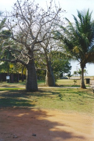 Boab trees in Broome