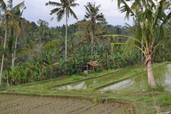Rice Terraces & Hut