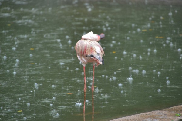 Bedraggled Flamingo