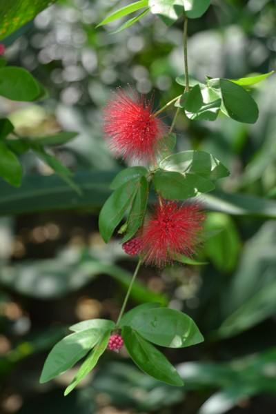 Red Pom Pom Flower